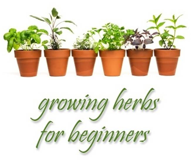 Grow Herbs for Beginners