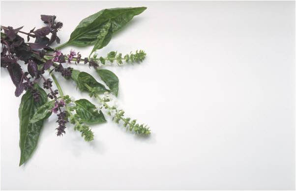benefits of basil, health benefits of basil, health and nutritional supplement