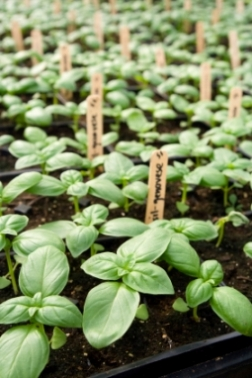 Basil Varieties & Seeds